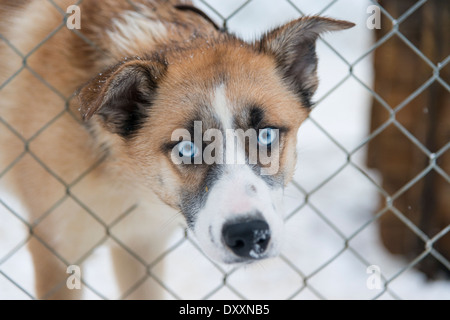 A husky dog with blue eyes poking its head through a wire kennel looking at the camera in a cute way, in Lapland - Stock Photo