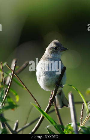 Chaffinh perching in the morning sun - Stock Photo