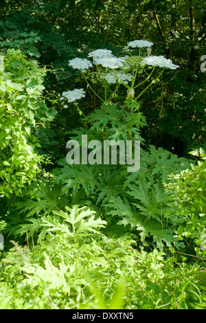 giant hogweed plant in green forest ambiance - Stock Photo
