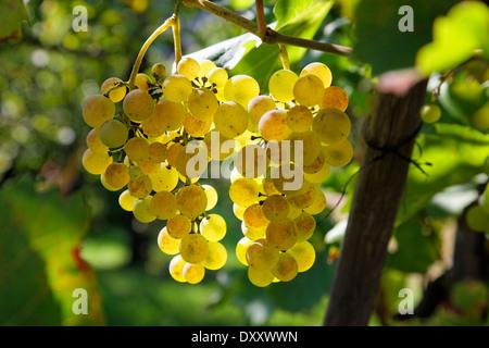 Germany, Baden-Wurttemberg, grapes, white wine, Deutschland, Baden-Württemberg, Weintrauben, Weißwein