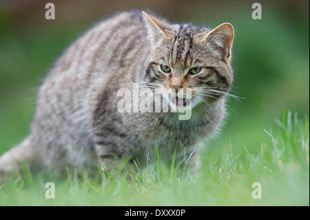 Scottish Wildcat (Felis silvestris grampia) - Stock Photo