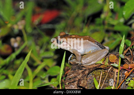 Madagascan tree frog (Boophis madagascariensis). The species is sometimes known as the Madagascan dagger frog.
