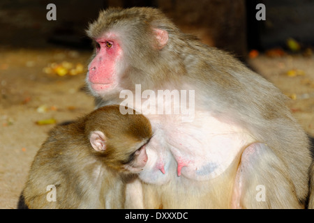Japanese macaque (Macaca fuscata), is a terrestrial Old World monkey species native to Japan. - Stock Photo