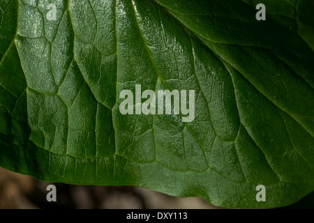 Leaf detail of Arum maculatum / Cuckoo-pint / Lords-and-Ladies - a toxic plant. FOCUS horizontal mid-field.  Called - Stock Photo