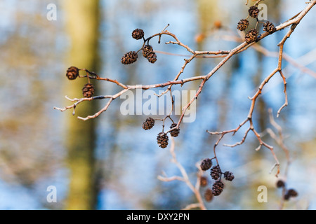 dried mature female catkins on alder tree branch close up in spring forest - Stock Photo