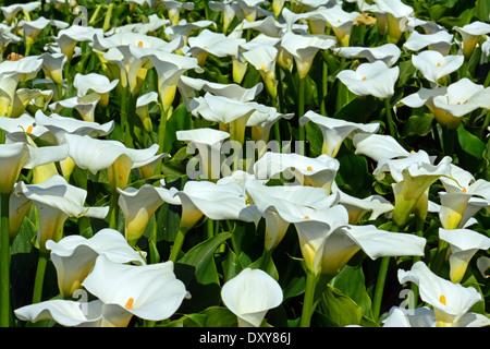 A field of Wild Calla - Stock Photo