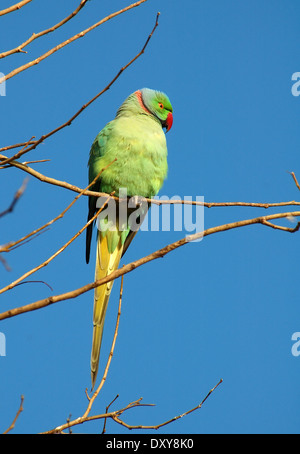 Rose-ringed Parakeet (Psittacula krameri) - Stock Photo