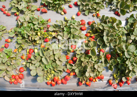 Strawberry patch - Stock Photo