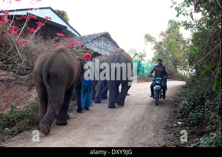 Three young elephants walk up the hill in Huay Pakoot village in northern Thailand. - Stock Photo