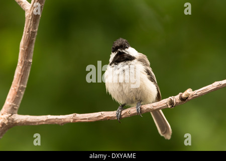 Black Capped Chickadee perched on a branch. - Stock Photo