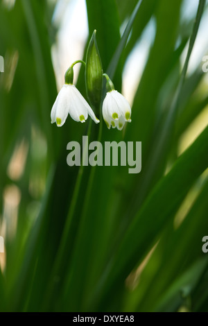 Leucojum aestivum Snowflake flowers contrasting with rich green colored slender leaves - Stock Photo