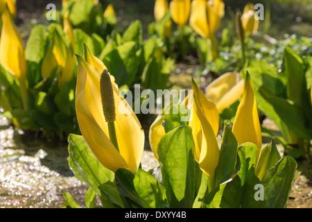 ... Wonderful Bright Yellow Backlit Swamp Lantern In Sunshine Skunk Cabbage  Patch   Stock Photo