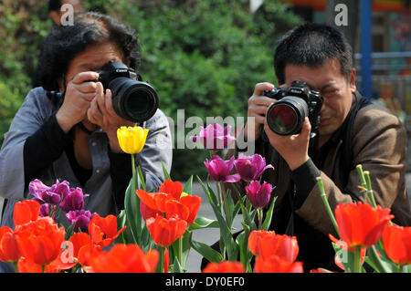 Zhengzhou, China's Henan Province. 2nd Apr, 2014. Tourists take photos of tulip flowers at a park in Zhengzhou, - Stock Photo
