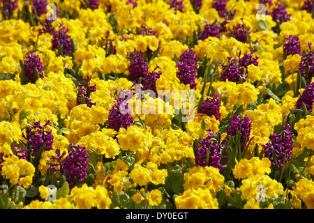 colourful Spring flowers polyanthus and hyacinths in flower beds at Bournemouth Lower Gardens in March - Stock Photo