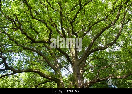 English Oak, oaks, treetop, crown, Stiel-Eiche, Stieleiche, Eiche, Eichen, Quercus robur, Frühjahr, Baumkrone, Chêne - Stock Photo