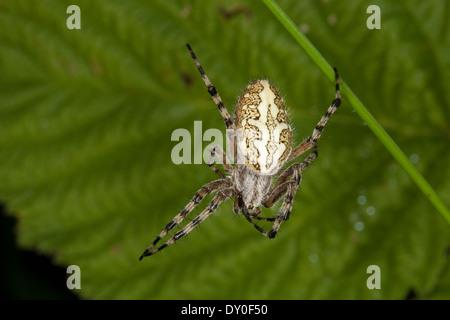 oakleaf orbweaver, oak spider, Aculepeira ceropegia, Araneus ceropegia, Eichblatt-Radspinne, Eichenblatt-Radspinne, - Stock Photo