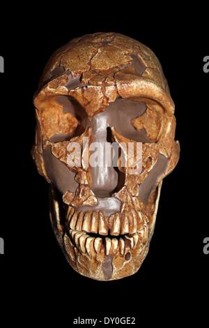 La Ferrassie1 Homo neanderthalensis Skull Replica Cast