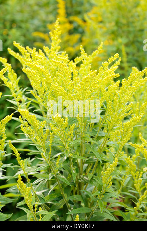 Canada goldenrod (Solidago canadensis) plant outdoors. - Stock Photo
