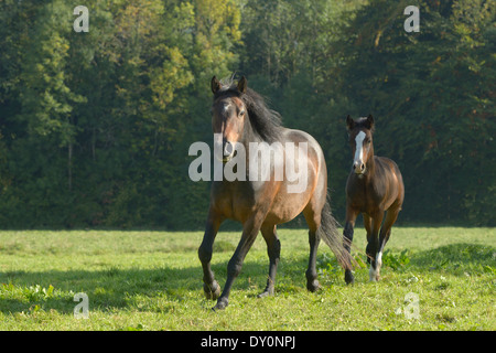 Connemara pony mare and foal galloping in the field - Stock Photo