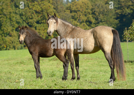 Connemara pony mare and her foal standing in tthe field at late summer. - Stock Photo