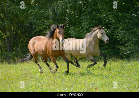 Two Connemara ponies galloping in the field - Stock Photo