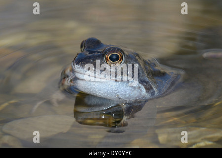 Male common frog (Rana temporaria) looking for female - Stock Photo