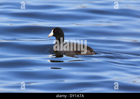 American coot (Fulica americana) swimming on a lake. - Stock Photo