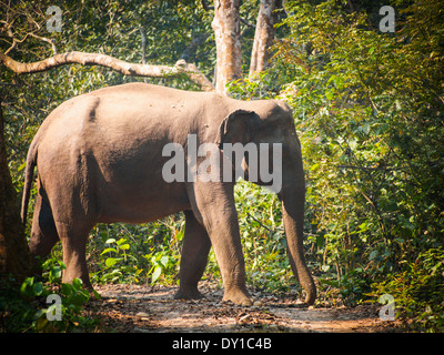 Wild elephant (from herd of about 17) in Bardia National Park, Nepal - Stock Photo