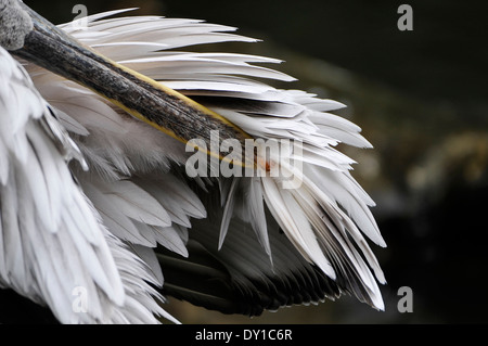 Pelikan cleaning the feathers, Pelikan reinigt das Gefieder, - Stock Photo