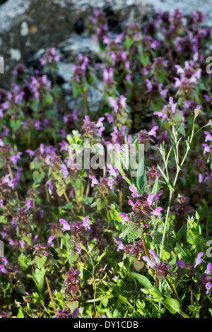 Dead nettle (Lamium purpureum) in late afternoon light. Spring meadow. - Stock Photo