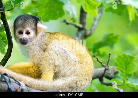 Die Totenkopfaffen oder Totenkopfäffchen (Saimiri) , The squirrel monkeys - Stock Photo