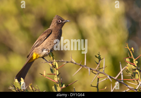 A Cape Bulbul (Pycnonotus capensis) in West Coast National park, Western Cape, South Africa - Stock Photo