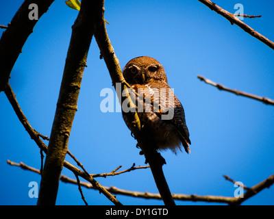 Jungle Owlet (Glaucidium radiatum) in Bardia National Park, Nepal - Stock Photo