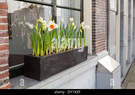 Narcissus flowers grow in wooden box on the windowsill in Amsterdam - Stock Photo