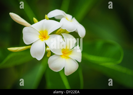 Beautiful white flowers of Plumeria (Frangipani) on blurred green foliage background - Stock Photo