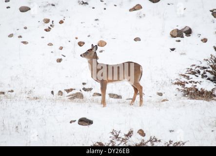 A female Mule deer (Odocoileus hemionus) in winter in Jasper National Park, Alberta, Canada.