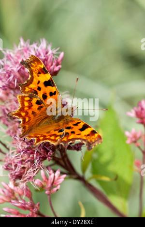 Polygonia c-album, Comma Butterfly on Eupatorium maculatum Atropurpureum Group flower. September. - Stock Photo