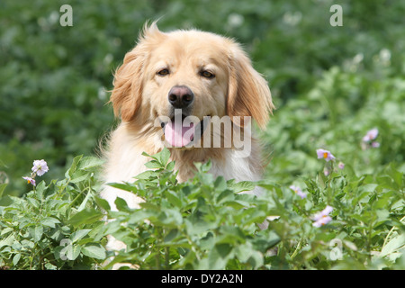 Dog hovawart blond adult adults portrait face nature attentive sit sitting - Stock Photo