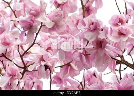Magnolia campbellii (Raffillii Group) Charles Raffill), Magnolia. Tree, April. Pink flowers. - Stock Photo