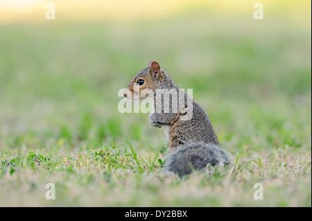 Eastern Gray Squirrel or Eastern Grey Squirrel (Sciurus carolinensis), Florida, USA - Stock Photo