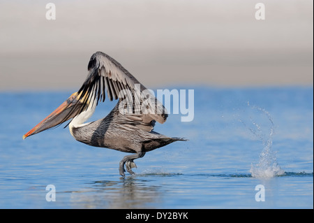 Brown Pelikan (Pelecanus occidentalis), Sanibel Island, Florida, USA - Stock Photo