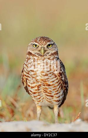 Burrowing Owl (Speotyto cunicularia, Athene cunicularia), Florida, USA - Stock Photo