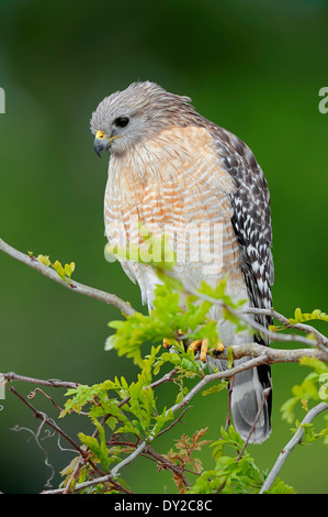 Red-shouldered Hawk (Buteo lineatus), Florida, USA - Stock Photo