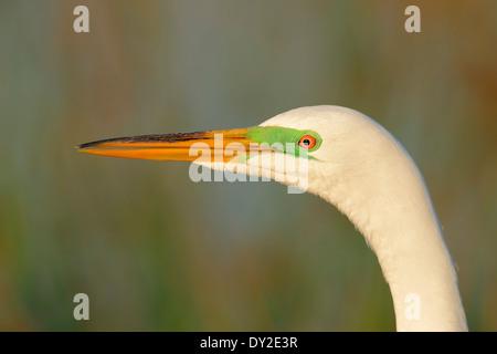 Great Egret, Common Egret, Large Egret or Great White Egret (Ardea alba, Casmerodius albus), Florida, USA - Stock Photo