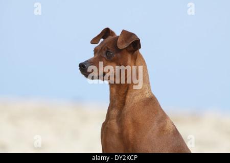 Dog Miniature Pinscher / adult portrait - Stock Photo