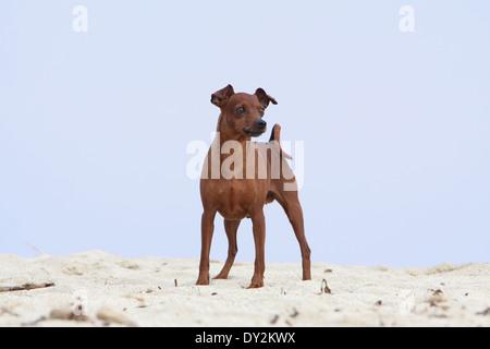 Dog Miniature Pinscher / adult standing on the beach - Stock Photo