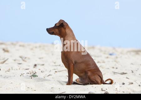 Dog Miniature Pinscher / adult sitting on the beach - Stock Photo
