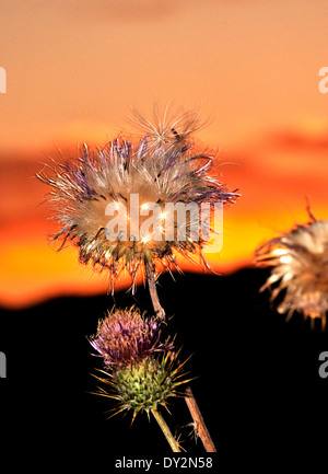 Dry New Mexico Thistles, Cirsium neomexicanum, grow in the Santa Catalina Mountains, Sonoran Desert, Tucson, Arizona, - Stock Photo