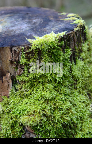 Green Moss on tree stump Uk - Stock Photo