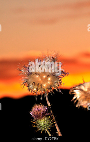 New Mexico Thistles, Cirsium neomexicanum, grow in the Santa Catalina Mountains, Sonoran Desert, Tucson, Arizona, - Stock Photo